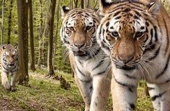 Любознательные тигры в лесе стоковые изображения rf