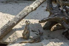 Любознательные meerkats на песке Стоковая Фотография RF