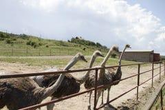 Любознательные ostrichs Стоковые Изображения