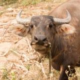 Любознательный взрослый крупный план индийского буйвола Стоковая Фотография