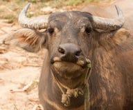 Любознательный взрослый крупный план индийского буйвола Стоковое фото RF