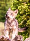 Любознательный волк младенца Стоковое Изображение