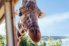 Любознательный жираф на сафари Стоковая Фотография
