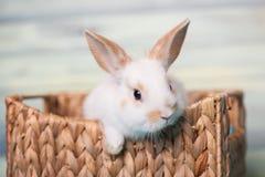 Любознательный зайчик младенца gazing от корзины Стоковое Изображение RF