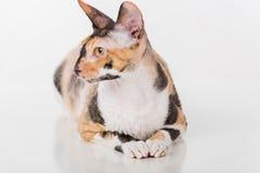 Любознательный корнуольский кот Rex лежа на белом столе Белая предпосылка Портрет стоковая фотография