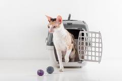Любознательный корнуольский кот Rex идя из коробки на белой таблице с отражением Белая предпосылка стены Маленькие шарики как игр стоковое изображение