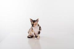 Любознательный корнуольский кот Rex сидя на белом столе Белая предпосылка Смотреть вниз стоковая фотография