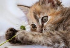 Любознательный котенок играя с маргариткой Стоковые Изображения RF