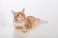 Любознательный кот енота Мейна лежа на белой таблице с отражением Белая предпосылка лениво Стоковые Изображения RF