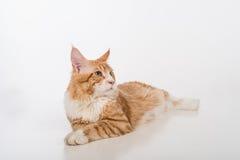 Любознательный кот енота Мейна лежа на белой таблице с отражением Белая предпосылка лениво Стоковые Фото