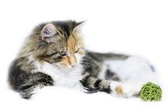 Любознательный кот Стоковые Фотографии RF