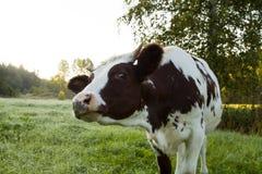 Любознательный крупный план коровы детенышей Стоковое Изображение RF