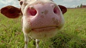 Любознательный крупный план коровы на луге Стоковое фото RF