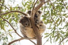 Любознательный младенец коалы с мумией Стоковые Фото