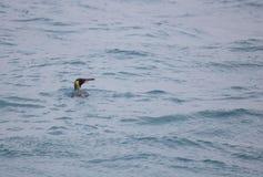 Любознательный пингвин короля в океане Стоковая Фотография RF