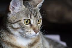 Любознательный, прелестный общий tabby волос кота стоковое фото rf