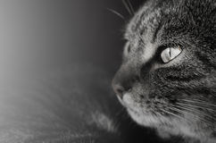 Любознательный пристальный взгляд кота Стоковое Изображение RF