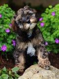 Любознательный пушистый щенок Стоковое Изображение