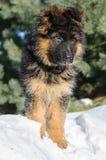 Любознательный щенок немецкой овчарки Стоковая Фотография RF