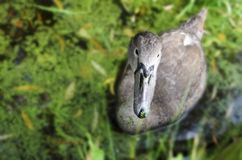 Любознательный ювенильный лебедь
