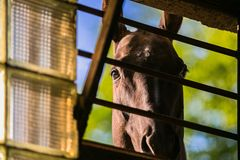 Любопытная коричневая лошадь смотря через окно стоковое изображение