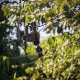 Любопытная молодая обезьяна Capuchin наблюдает от ветви дерева стоковые изображения