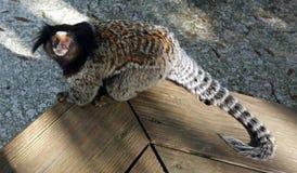 Любопытная обезьяна Стоковое Изображение