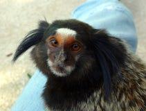 Любопытная обезьяна Стоковое фото RF