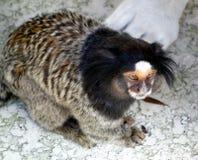 Любопытная обезьяна Стоковое Фото