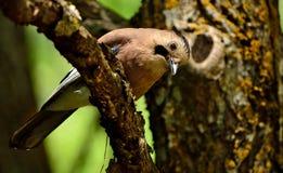 Любопытная птица jay стоковое изображение
