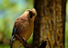 Любопытная птица jay стоковые изображения