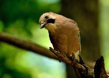 Любопытная птица jay стоковое изображение rf
