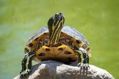 Любопытная черепаха имея взгляд вокруг стоковые фотографии rf