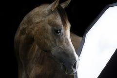 Любопытная чистоплеменная аравийская лошадь стоковые изображения