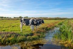 Любопытные молодые коровы в ландшафте польдера вдоль рва, около ситовины стоковая фотография