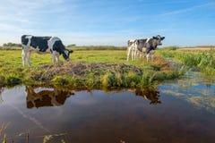 Любопытные молодые коровы в ландшафте польдера вдоль рва, около ситовины стоковое изображение rf