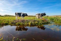 Любопытные молодые коровы в ландшафте польдера вдоль рва, около ситовины стоковое фото