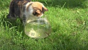 Любопытный кот смотря рыб плавая в стеклянный аквариум closeup 4K акции видеоматериалы