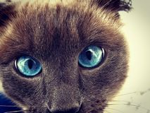 Любопытный сиамский кот стоковые фото