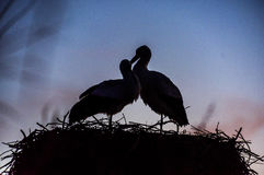 Любящие белые аисты Стоковые Фото