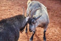 Любящие козы Стоковые Изображения