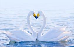 любящие лебеди Стоковая Фотография RF