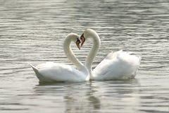 любящие лебеди Стоковая Фотография