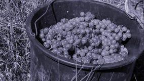 Люди выбирая виноградины в осени акции видеоматериалы