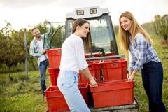 Люди жать виноградины в винограднике в осени Стоковая Фотография