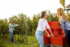 Люди жать виноградины в винограднике в осени Стоковые Фото