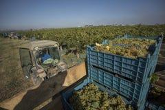 Люди жать виноградины в винограднике Стоковое Фото