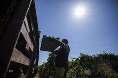 Люди жать виноградины в винограднике Стоковая Фотография