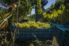 Люди жать виноградины в винограднике Стоковое Изображение RF