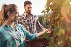 Люди жать виноградины на винограднике winegrower Стоковая Фотография